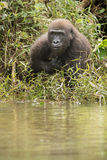 Красивая и одичалая горилла низменности в среду обитания природы Стоковые Фотографии RF