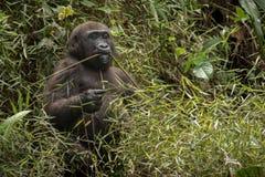 Красивая и одичалая горилла низменности в среду обитания природы Стоковое Изображение RF