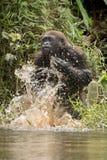 Красивая и одичалая горилла низменности в среду обитания природы Стоковые Изображения RF
