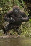 Красивая и одичалая горилла низменности в среду обитания природы Стоковая Фотография RF