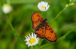 Красивая и редкая бабочка сидела на цветке в красивом летнем дне стоковая фотография