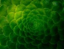 Красивая картина в суккулентном заводе, кактус Фибоначчи стоковое фото