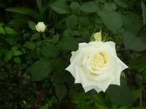 Красивая китайская роза стоковое изображение rf