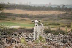 Красивая коза младенца с очень сладостной стороной Стоковое Изображение