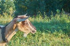 Красивая коза любимчика Стоковая Фотография