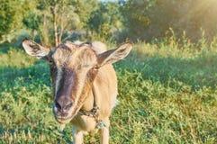 Красивая коза любимчика Стоковые Фото
