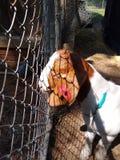 Красивая коза стоковое изображение rf