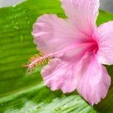 Красивая концепция курорта розового гибискуса цветет на больших зеленых лист Стоковое фото RF