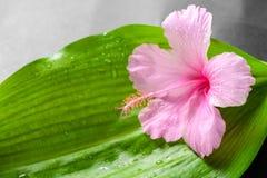 Красивая концепция курорта розового гибискуса цветет на больших зеленых лист Стоковое Фото