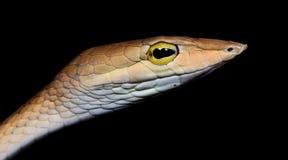 Красивая коричневая змейка, восточная змейка хлыста Стоковые Фотографии RF