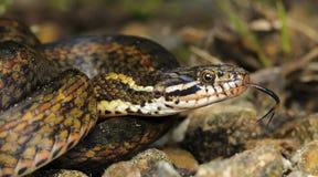 Красивая коричневая змейка, восточная змейка хлыста Стоковые Изображения RF