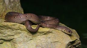 Красивая коричневая змейка на утесах, Pareas Стоковые Изображения