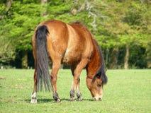 Красивая коричневая лошадь пася в поле на весеннем времени стоковая фотография rf