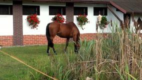 Красивая коричневая лошадь пася зеленую траву видеоматериал