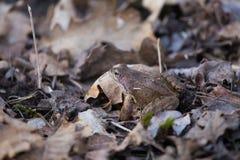 Красивая коричневая лягушка сидя на земле, полная высушенных последних листьев и травы лет Предыдущий пейзаж весны весна жизни но Стоковое Фото