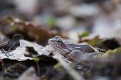 Красивая коричневая лягушка сидя на земле, полная высушенных последних листьев и травы лет Предыдущий пейзаж весны весна жизни но Стоковое фото RF