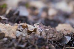 Красивая коричневая лягушка сидя на земле, полная высушенных последних листьев и травы лет Предыдущий пейзаж весны весна жизни но Стоковые Изображения