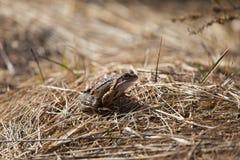 Красивая коричневая лягушка сидя на земле, полная высушенных последних листьев и травы лет Предыдущий пейзаж весны весна жизни но Стоковая Фотография RF