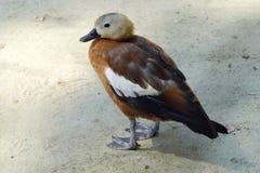 Красивая коричневая утка в парке в лете Стоковое Изображение