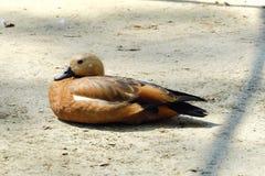 Красивая коричневая утка в парке в лете Стоковые Изображения