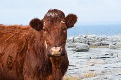 Красивая корова Брайна на Burren в Ирландии Стоковые Фотографии RF