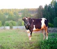 Красивая корова пася Стоковые Фото