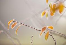 Красивая, который замерли ветвь дерева и яркие оранжевые листья Стоковые Изображения