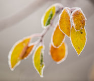 Красивая, который замерли ветвь дерева и яркие оранжевые листья Стоковое Фото