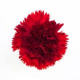 Красивая красная гвоздика стоковое фото rf