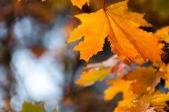 Красивая красная желтая оранжевая предпосылка листьев осени Стоковые Изображения RF