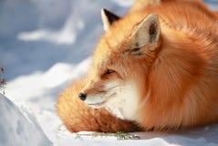 Красивая красная лиса Стоковые Фотографии RF