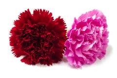 Красивая красная и розовая гвоздика стоковое фото rf
