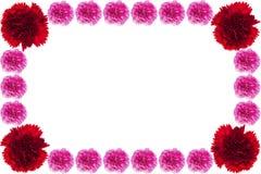 Красивая красная и розовая гвоздика стоковое изображение