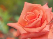 Красивая красная роза в саде на кусте Стоковая Фотография RF