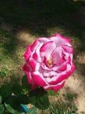 Красивая красная роза стоковое фото