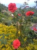 Красивая красная роза на регионе горы деревни Chizami стоковая фотография rf