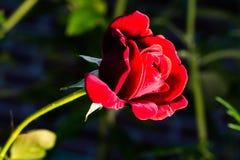 Красивая красная роза показывает свою красоту Стоковое Изображение RF