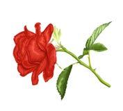 Красивая красная роза с длинным стержнем и листья изолированные на белой предпосылке Стоковое Изображение