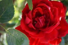 Красивая красная роза с листьями в конце-вверх стоковое изображение rf
