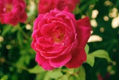 Красивая красная роза Это очень красивый цветок стоковые фото