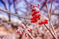 Красивая красная рябина ягод на заморозке и начале льда зимы стоковая фотография