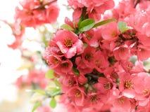 Красивая красная Сакура Цветение вишни Стоковые Фото