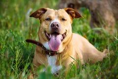 Красивая красная собака лежа в траве Стоковая Фотография