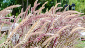 Красивая красная трава фонтана в саде Стоковые Фото