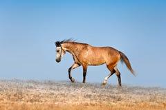 Красивая красно-dappled конематка скакать через поле на предпосылке голубого неба стоковые фотографии rf