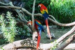Красивая красочная ара parrots сидеть на ветви Стоковые Фотографии RF