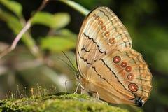 Красивая красочная бабочка в природе Стоковые Изображения RF