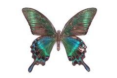 Красивая красочная бабочка изолированная на белизне Стоковая Фотография