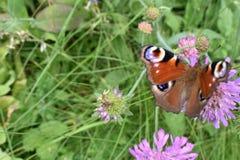 Красивая красочная бабочка на цветке Стоковые Фото