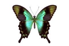 Красивая красочная замкнутая бабочка изолированная на белизне Стоковая Фотография RF